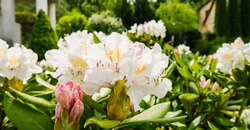 Blooming beautiful Rhododendron flower 'White Cunningham' in the spring garden