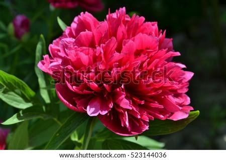 Blooming big peony flower #523144036