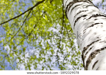 Blooming Birch tree in a sunny spring day. Young bright green leaves on birch tree branches close-up. White birch trunk in focus on a blue sky background. Spring birch in bright sunlight close up. Photo stock ©