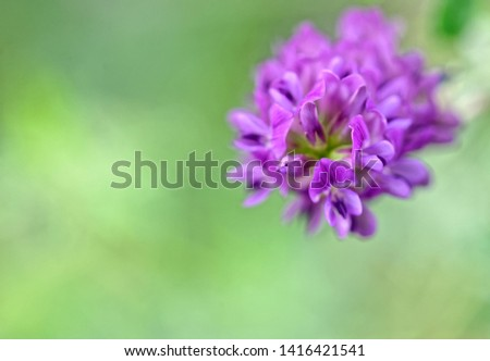 Blooming bird's vetch, Vicia cracca
