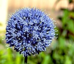 blooming blue decorative onion plant with the Latin name Allium caeruleum, macro