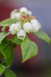 Blooming Blueberry flowers