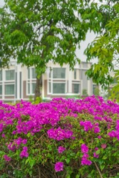 Blooming bougainvillea flowers. Floral background. Violet bougainville flowers blooming in the park in Malaysia.