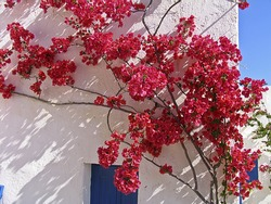 Blooming bougainvillea  framing the window in a Greek island