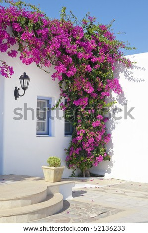 Blooming bougainvillea, framing the window in Mykonos, Greece. flowers around the window in the hotel on the island of Mykonos in Greece ...