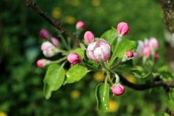 Blooming bourgeons of apple tree flowers