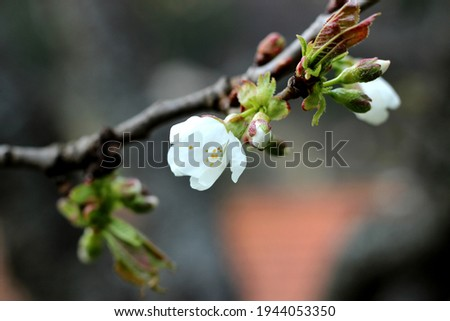 Blooming bourgeons on apple tree Photo stock ©