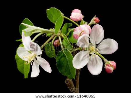 blooming branch of apple tree on black background