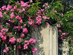 Blooming bright pink wild roses (dog rose, rosa canina, rosehip) flower and green leaves climbing over iron fence and concrete pole under sunshine in spring