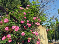 Blooming bright pink wild roses (dog rose, rosa canina, rosehip) flower and green leaves climbing over iron fence and concrete pole on roadside under clear blue sky in spring in Qinhuangdao, China
