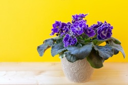 Blooming bright purple African violet flower on wooden table with yellow background