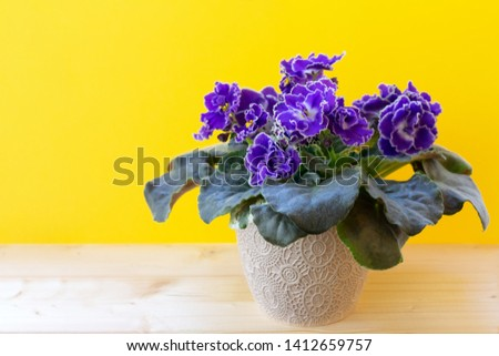 Blooming bright purple African violet flower on wooden table with yellow background #1412659757
