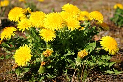 Blooming bright yellow Taraxacum flowers in a meadow on a spring, sunny day