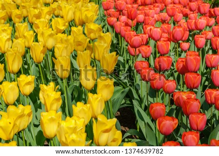 Blooming brightly colored yellow and red tulips in bright sunlight in the spring in Keukenhof gardens, the Netherlands. #1374639782