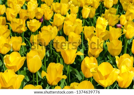 Blooming brightly colored yellow  tulips in bright sunlight in the spring in Keukenhof gardens, the Netherlands #1374639776