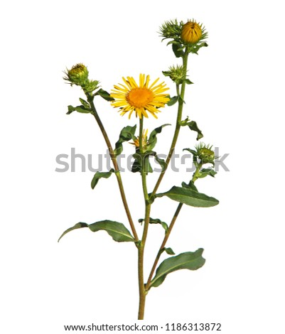 Blooming British yellowhead isolated on white, Inula britannica