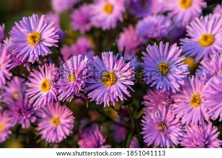 Blooming bush aster in the rays of the setting sun. Background / wallpaper and lilac aster flowers Foto stock ©