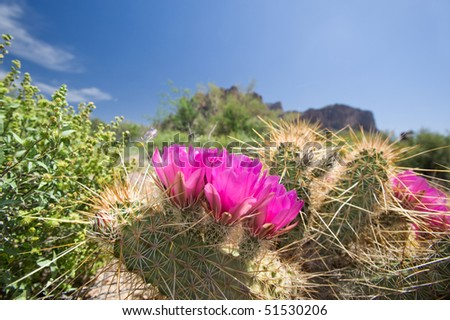 Blooming cactus flowers in an Arizoina desert.