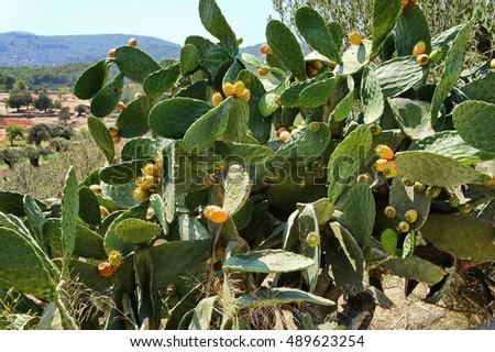 blooming cactus  ibiza  spain.