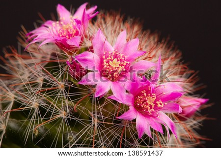 Blooming cactus on black background close-up - stock photo