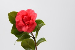 Blooming camellia and leaves on a white background