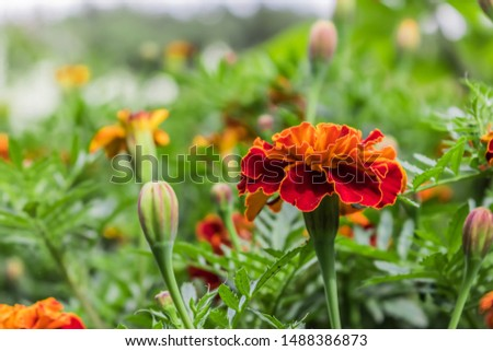 Blooming carnation flowers on a background of flowers. Beautiful bokeh flowers. Pattern design vibrant fresh vibrant sweet colorful colorful colors of nature beautiful nature background. #1488386873