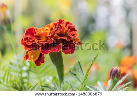 Blooming carnation flowers on a background of flowers. Beautiful bokeh flowers. Pattern design vibrant fresh vibrant sweet colorful colorful colors of nature beautiful nature background. #1488386879
