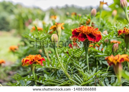 Blooming carnation flowers on a background of flowers. Beautiful bokeh flowers. Pattern design vibrant fresh vibrant sweet colorful colorful colors of nature beautiful nature background. #1488386888