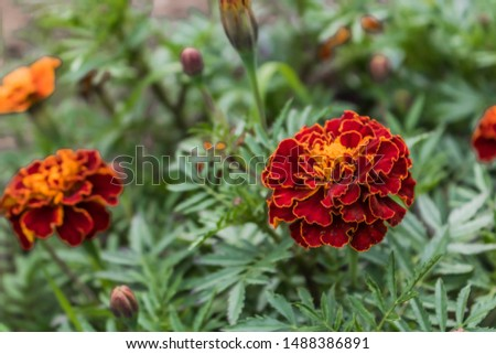 Blooming carnation flowers on a background of flowers. Beautiful bokeh flowers. Pattern design vibrant fresh vibrant sweet colorful colorful colors of nature beautiful nature background. #1488386891