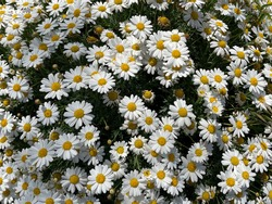 Blooming Chamomile marguerite white yellow flowers top view, floral wallpaper background with shrub marguerite flowers