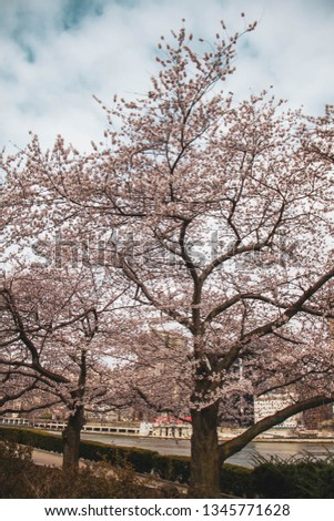 Blooming cherry blossom trees at Roosevelt island park in vintage color sky