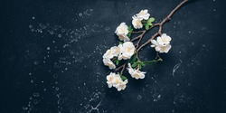 Blooming cherry branch (artificial) flat lay on black stone background. Beautiful spring background. Top view, banner