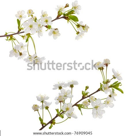 blooming cherry branches
