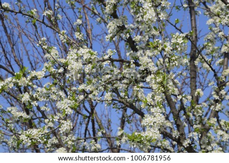 Blooming cherry plum. White flowers of plum trees on the branches of a tree. Spring garden #1006781956
