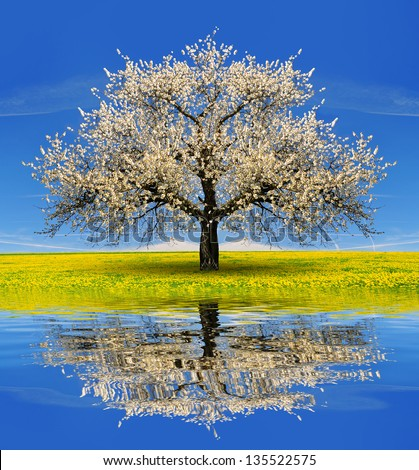 Blooming cherry tree in spring landscape