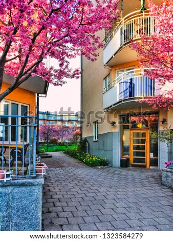 Blooming cherry tree in Stockholm, Sweden. Traditional swedish houses and yard, walkway street in spring season. Exterior of scandinavian buildings, pink flowers in blossoming garden.