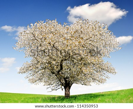 Blooming cherry tree in the national park Sumava - Czech Republic