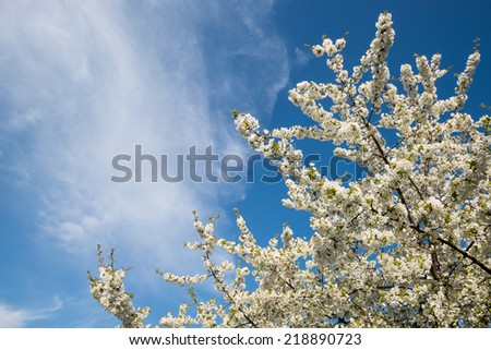 Blooming cherry tree over blue sky/Blooming cherry tree/Spring cherry tree bloomed and blue sky