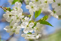 Blooming cherry tree. White flowers on a tree in a garden. Spring background