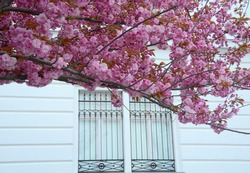 Blooming cherry trees nearby a white building with iron bars on windows in Buda Catle, Hungary