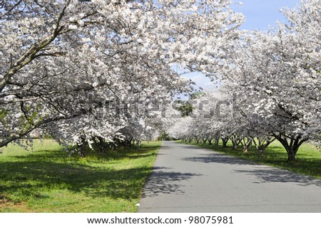 Blooming cherry trees on the road