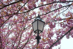 Blooming cherry trees with a street lamp  in Buda Catle, Hungary