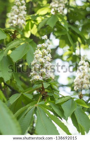 Blooming chestnut tree against blue sky