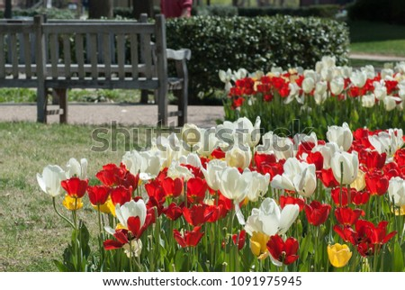 Blooming colorful tulip flowers in a sunny spring day #1091975945