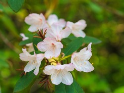 blooming Common Rhododendron,  pontic rhododendron or Rhododendron maximum