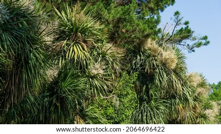 Blooming Cordyline australis, commonly known as cabbage tree or cabbage-palm. White inflorescence of Cordyline australis palm in Arboretum Park Southern Cultures in Sirius (Adler) Sochi. Stockfoto ©