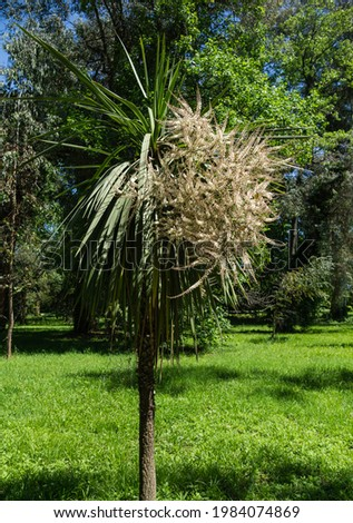 Blooming Cordyline australis, commonly known as cabbage tree. White inflorescences with buds of Cordyline australis palm. Spring day in Arboretum Park Southern Cultures in Sirius (Adler) Sochi. Stockfoto ©