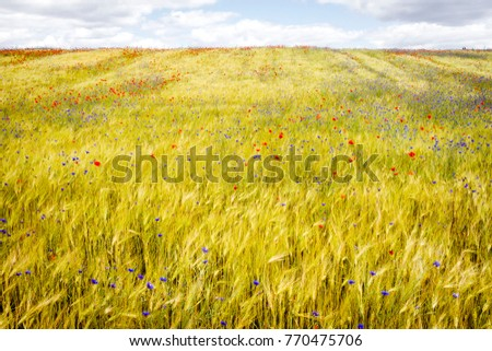Blooming cornflowers and poppies in rye field on a sunny summer day #770475706