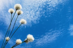 Blooming cotton grass against a blue sky