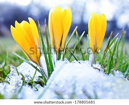 Blooming crocuses and snow shooting from ground level with shallow depth of field